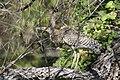 Garza tigre mexicana - panoramio (3).jpg