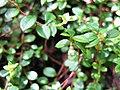 Gaultheria japonica 1.JPG