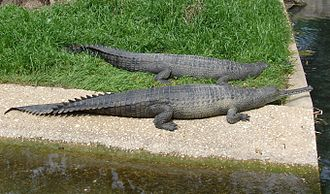 Gharial - Two gharials at San Antonio Zoo, United States