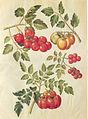 Gc5 tomatoes.jpg