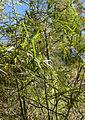 Geitonoplesium cymosum foliage.jpg