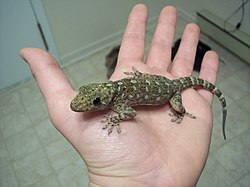 Gekko grossmanni on human hand.jpg