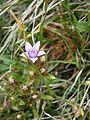 Gentianella germanica sl RHu 02.JPG