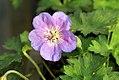 Geranium Rozanne 0zz.jpg