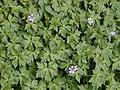 Geranium endressii.jpg
