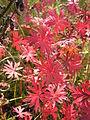 Geranium sanguineum (fall foliage) 2.jpg