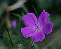 Geranium sanguineum Blüte.JPG