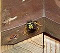 German Wasp. Vespula germanica (35822344003).jpg