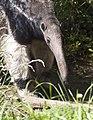 Giant Anteater (4177442003).jpg