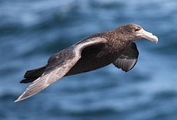 Giant Petrel flying over the South Atlantic (5543709335).jpg
