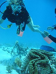 A scuba diver looking at a giant clam on the Great Barrier Reef