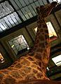 Girafe grande galerie de l'évolution img 1405.jpg