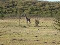 Giraffe (36683325084).jpg