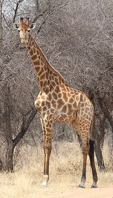 Giraffe at Borakalalo National Park, South Africa (9822616435).jpg