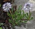 Globularia cordifolia RF.jpg