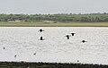 Glossy Ibis (Plegadis falcinellus) in flight W IMG 9757.jpg