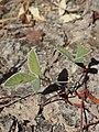 Glycine falcata plant.jpg