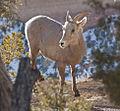 Goat 6 (4279959635).jpg