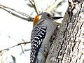 Golden-Fronted Woodpecker 0007.jpg