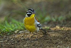 Golden-breasted Bunting - Kenya S4E8725 (22763946554).jpg