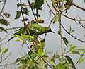 Golden-fronted Leafbird (Chloropsis aurifrons) feeding at Jayanti, Duars, West Bengal W Picture 312.jpg