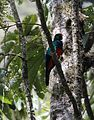 Golden-headed quetzal (23460893620).jpg