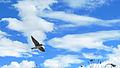 Golondrina volando (14181847429).jpg