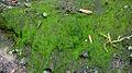 Gorges du Ciron, avril 2016, algue filamenteuse verte 4961.JPG