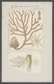 Gorgonia verrucosa - - Print - Iconographia Zoologica - Special Collections University of Amsterdam - UBAINV0274 109 02 0020.tif
