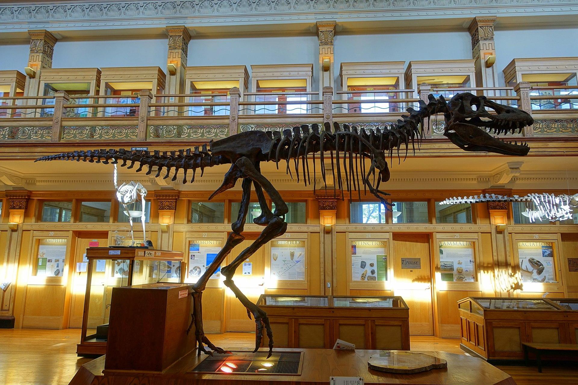 Gorgosaurus libratus - Redpath Museum - McGill University - Montreal, Canada - DSC07975.jpg