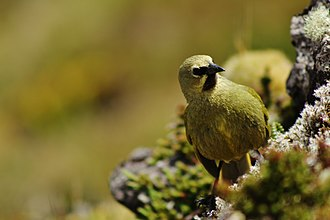 Gough Island - A male Gough Bunting on the island