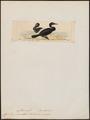 Graculus magellanicus - 1820-1860 - Print - Iconographia Zoologica - Special Collections University of Amsterdam - UBA01 IZ18000125.tif