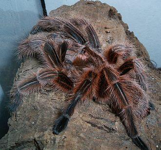 Chilean rose tarantula - Image: Grammostola rosea adult weiblich