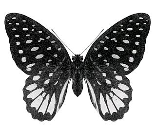 Meeks graphium species of insect