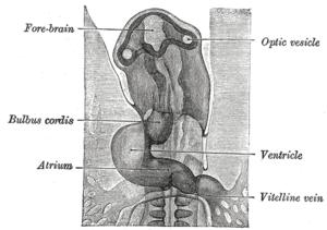 Optic vesicle - Image: Gray 460