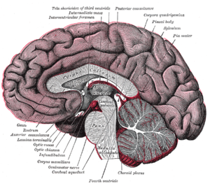 Posterior commissure - Sagittal cross-section of the human brain. The posterior commissure is labelled at center top.