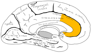 Anterior cingulate cortex - Medial surface of left cerebral hemisphere, with anterior cingulate highlighted