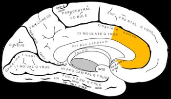 Anterior cingulate cortex.