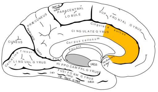 Gray727 anterior cingulate cortex