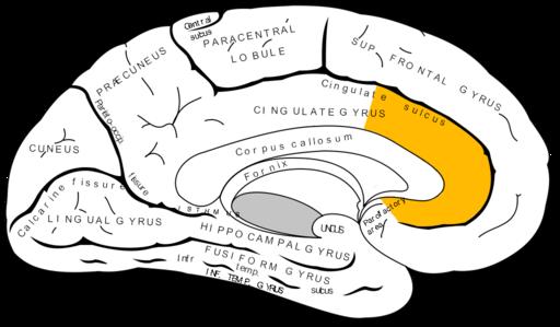 Gray727 anterior cingulate cortex
