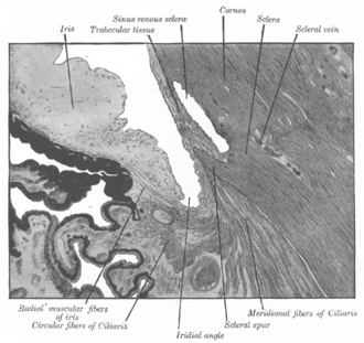 Schlemm's canal - Image: Gray 870