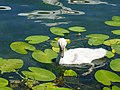 Grazing on water lillies @ Baby swan @ Lake Annecy @ Port de Saint-Jorioz (50487814906).jpg