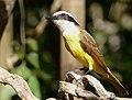 Great Kiskadee (Pitangus sulphuratus), Poconé, Mato Grosso.jpg