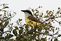 Great Kiskadee Bensten Rio-Grande SP Mission TX 2018-02-28 08-14-36 (39913074284).jpg
