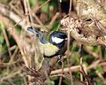 Great Tit - Flickr - gailhampshire.jpg