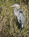 Great blue heron (6884796615).jpg