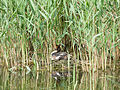 Great crested grebe, nesting (14193907368).jpg