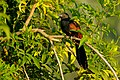 Greater Coucal DSC8740.JPG