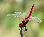 Greater Crimson Glider Urothemis signata Male by Kadavoor.jpg