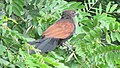 Greater coucal 11.jpg